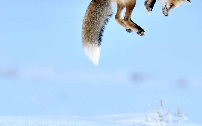 Snow Pounce - Richard Peters